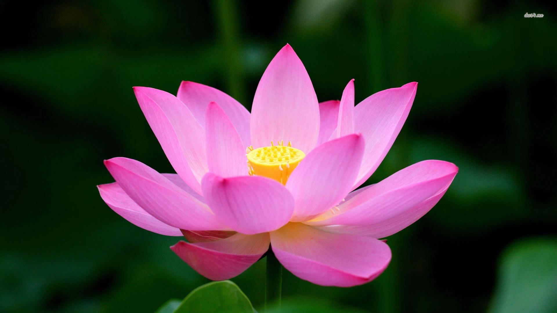 Pink lotus flower wallpaper hd wallpaper 1 yola dunne mightylinksfo